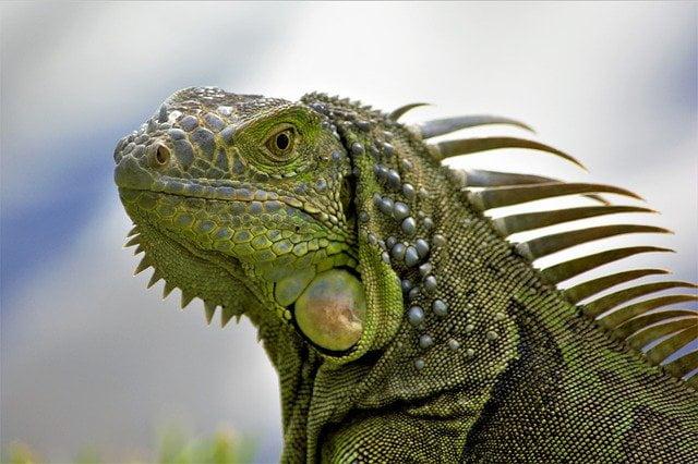 clima-terrestre-iguana